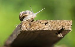 在繁殖的季节的美丽的蜗牛 库存照片