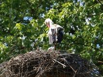 在繁殖的巢的白色鹳在公园Hitland在Nehterlands的Nieuwerkerk aan小室IJssel 库存照片
