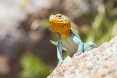 在繁殖的颜色的抓住衣领口的蜥蜴 免版税库存图片