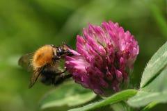 在红三叶草花的蜜蜂饲养 免版税库存图片