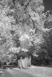 在红外线的欧洲栗木树 免版税库存图片