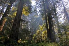 在红木树下在红木Natianol公园,加利福尼亚,美国,后面轻的摄影 库存照片