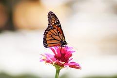 在红桃红色百日菊属的黑脉金斑蝶着陆反对被弄脏的bokeh背景 库存照片