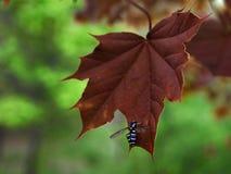 在红槭叶子的蜂从右边 免版税图库摄影