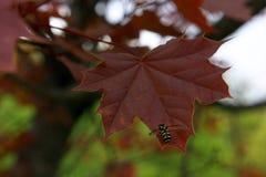 在红槭叶子的蜂 库存图片