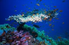 在红海制表珊瑚(鹿角珊瑚属Pharaonis) 免版税库存照片