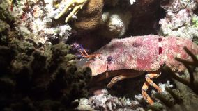 在红海海底的Scyllarides haanii驼背的拖鞋龙虾  股票录像