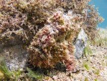 在红海的底部的红色有疣的鳖鱼科之鱼在珊瑚旁边的 免版税图库摄影
