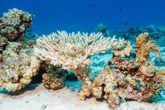 在红海的底部的美好的珊瑚 库存照片