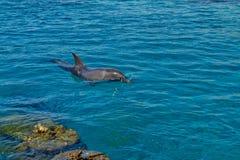 在红海的海豚礁石 图库摄影