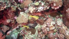 在红海苏丹珊瑚的青镶边攫夺者Lutjianus kasmira  影视素材