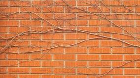 在红砖墙壁上的藤 库存照片