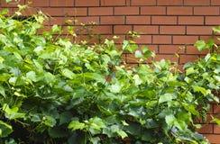 在红砖墙壁对面的绿色藤 库存图片
