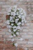 在红砖墙壁,威尼斯上的白花 免版税库存照片