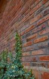 在红砖的攀缘藤本 库存图片