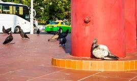 在红色专栏旁边站立的不适的鸽子孤立 图库摄影