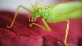 在红色事假的伟大的绿色蚂蚱 股票录像