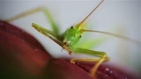 在红色事假,正面图的伟大的绿色蚂蚱 影视素材