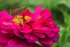 在红色共同的百日菊属elegans的头状花序栖息的蝴蝶 免版税图库摄影