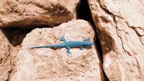 在红色冰砾的艺术性的蓝色蜥蜴 库存照片