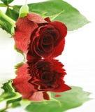 在红色反映玫瑰湿白色 免版税库存照片
