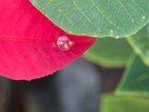 在红色叶子的一滴雨珠 库存照片