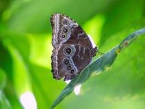 在红色叶子的蓝色Monrpho蝴蝶Peleides 免版税库存照片
