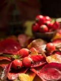 在红色叶子秋天背景的新莓果dogrose  免版税库存图片