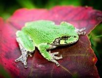 在红色叶子-眼睛的灰色雨蛙 免版税库存图片