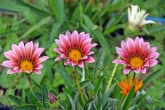 在红色和桃红色颜色的三朵庭院花在绿色背景 免版税库存照片