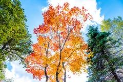 在红色和橙色金子,杉树的槭树以绿色离开,槭树叶子轮对红色在秋天季节有清楚的云彩的和蓝色 库存照片