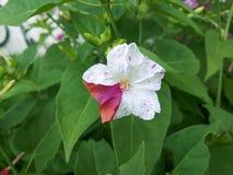 在红色和白色淡紫色口气的美丽的花! 图库摄影