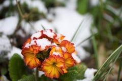 在红色和表面黄色的报春花花在苏克塞斯采取的雪英国 库存图片
