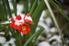 在红色和表面黄色的报春花花在苏克塞斯采取的雪英国 免版税库存照片