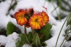 在红色和表面黄色的报春花花在苏克塞斯采取的雪英国 免版税库存图片