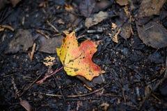 在红色和黄色的一片枫叶在黑暗的森林在autu研了 免版税库存照片