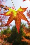 在红色和黄色的秋季叶子 免版税库存图片