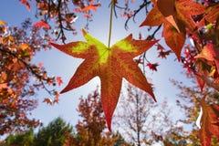 在红色和黄色的秋季叶子 免版税图库摄影