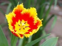 在红色和黄色颜色,鹦鹉种类的郁金香 免版税库存照片