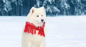 在红色围巾的冬天画象白色萨莫耶特人狗坐雪 图库摄影