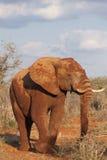 在红色土盖的大象 免版税库存图片