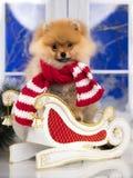 在红色圣诞老人围巾的圣诞节pomeranian狗 免版税图库摄影
