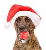在红色圣诞节圣诞老人帽子的大狗有礼物盒的 查出 图库摄影
