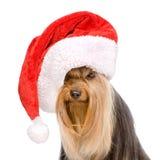 在红色圣诞节圣诞老人帽子的约克夏狗 查出在白色 免版税库存图片