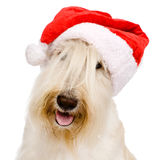 在红色圣诞节圣诞老人帽子的苏格兰狗 隔绝在白色b 免版税库存图片