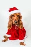 在红色圣诞节服装的圣诞节英国猎犬 免版税图库摄影