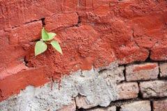 在红色墙壁上的一点Bodhi树 免版税库存照片
