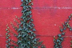 在红色墙壁上的常春藤 免版税图库摄影