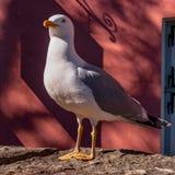 在红色墙壁的背景的海鸥 与黄色额嘴的一只大白色鸟 免版税库存图片