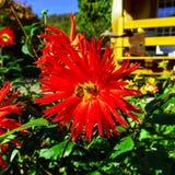 在红色大花的两只蜂在庭院里 库存图片